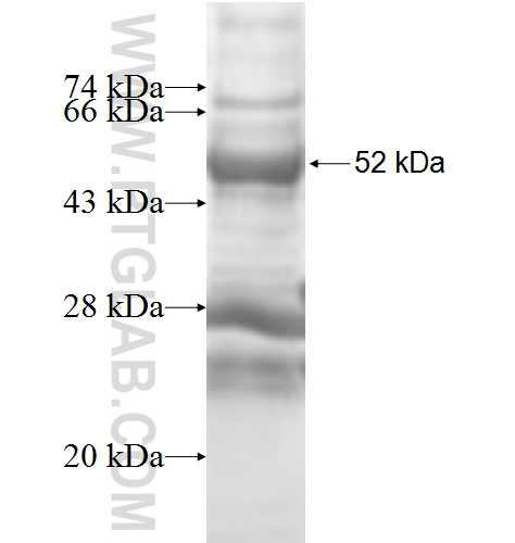 LDHAL6A fusion protein Ag9273 SDS-PAGE