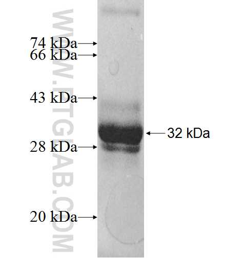 LDHAL6A fusion protein Ag9584 SDS-PAGE