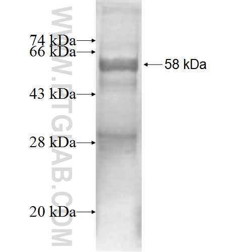 LMAN2 fusion protein Ag1966 SDS-PAGE