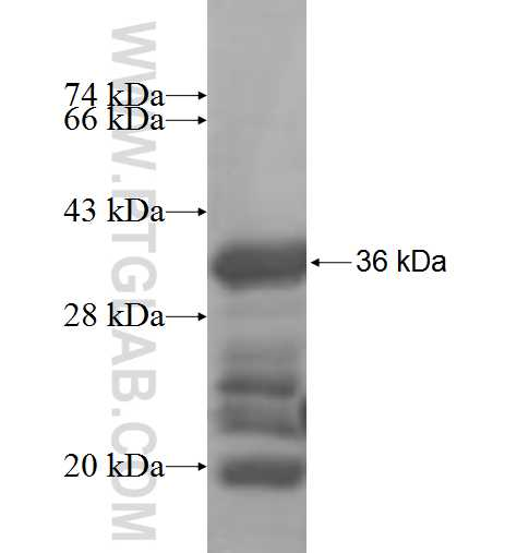LMOD1 fusion protein Ag7568 SDS-PAGE