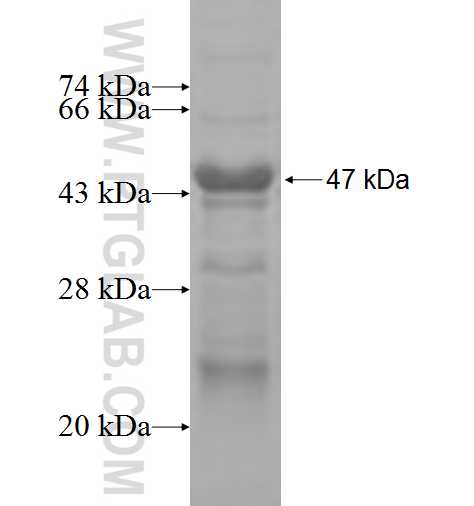 LPHN1 fusion protein Ag3943 SDS-PAGE