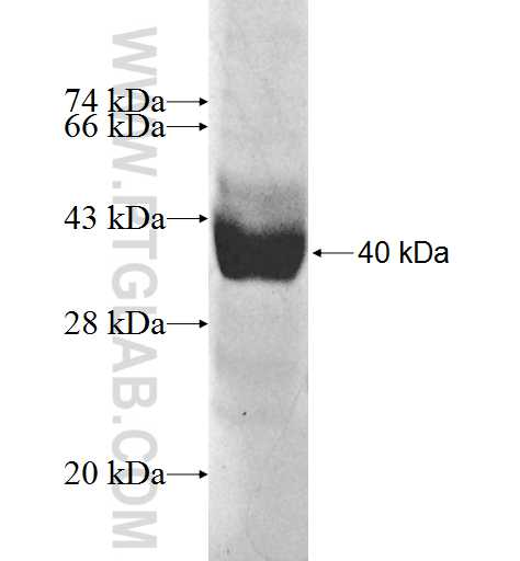 LRRC8A fusion protein Ag10062 SDS-PAGE