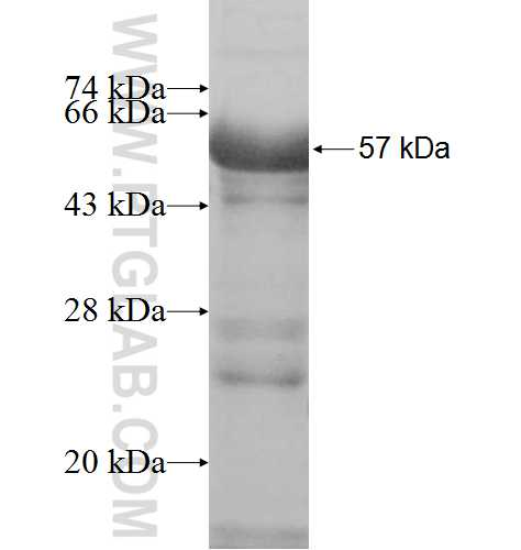 MAGEA11 fusion protein Ag7634 SDS-PAGE
