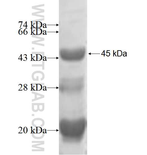 MAGEA2 fusion protein Ag5889 SDS-PAGE