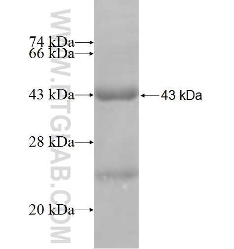 MAP2K3 fusion protein Ag4861 SDS-PAGE