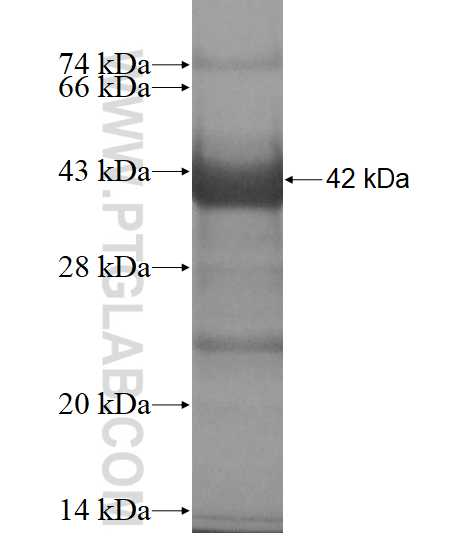 MAPK10 fusion protein Ag11806 SDS-PAGE