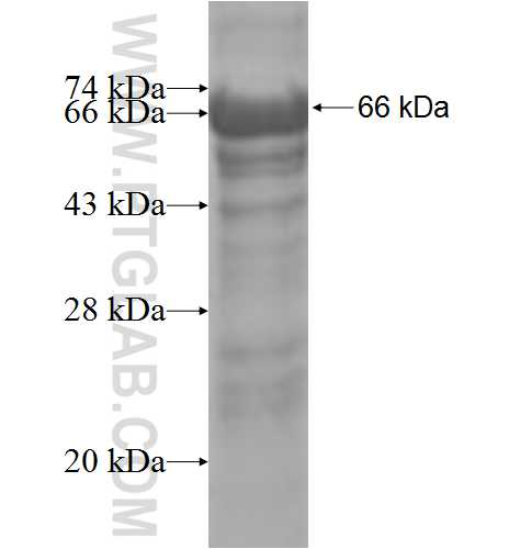 MAPK8IP2 fusion protein Ag4902 SDS-PAGE