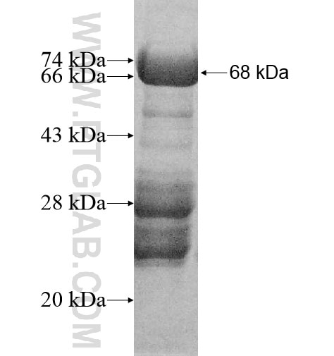 MAPKBP1 fusion protein Ag11883 SDS-PAGE