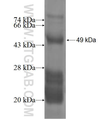 MARCH5 fusion protein Ag2806 SDS-PAGE