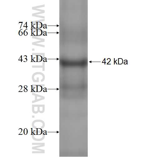 MDK fusion protein Ag1465 SDS-PAGE