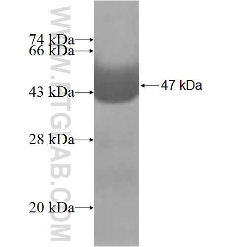 MOCS2 fusion protein Ag5761 SDS-PAGE