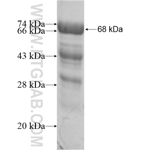 PALS1 fusion protein Ag12010 SDS-PAGE