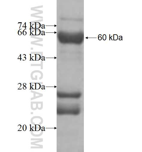 MRPL19 fusion protein Ag9738 SDS-PAGE