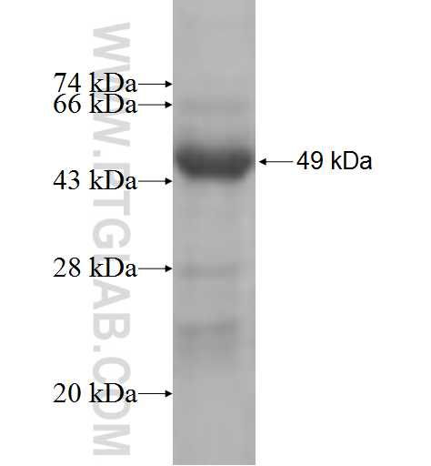 MRPS10 fusion protein Ag8897 SDS-PAGE