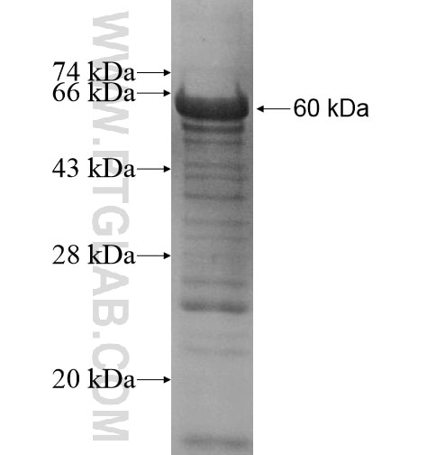 MSH6 fusion protein Ag12645 SDS-PAGE