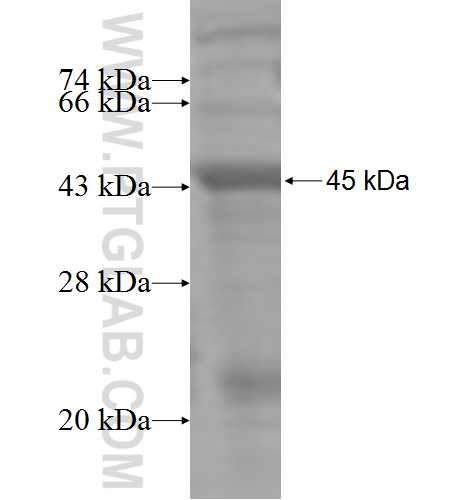 MTM1 fusion protein Ag4940 SDS-PAGE