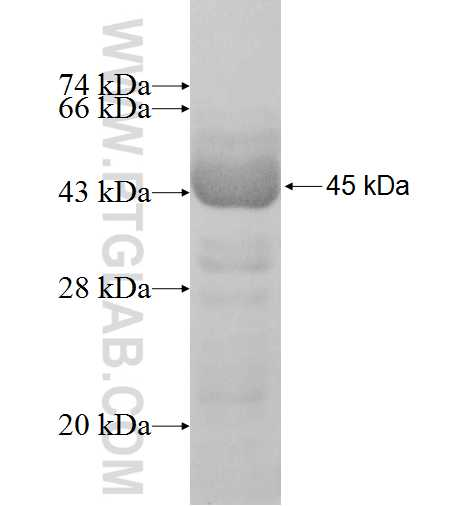 MTX1 fusion protein Ag7685 SDS-PAGE