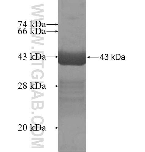 MYH10 fusion protein Ag16113 SDS-PAGE