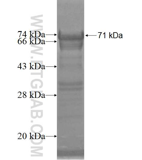 NAP1L1 fusion protein Ag6690 SDS-PAGE