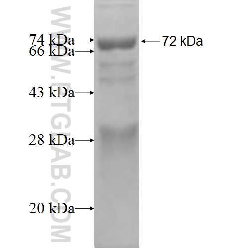 NARF fusion protein Ag2816 SDS-PAGE