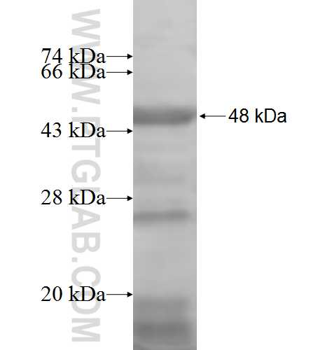 NARS fusion protein Ag6777 SDS-PAGE