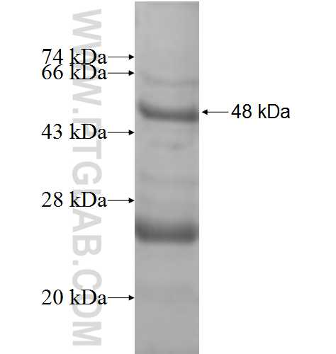 NDUFB5 fusion protein Ag8634 SDS-PAGE