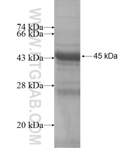NDUFB9 fusion protein Ag7916 SDS-PAGE