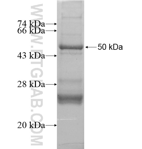 NF200 fusion protein Ag13517 SDS-PAGE