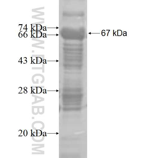 NID1 fusion protein Ag4749 SDS-PAGE
