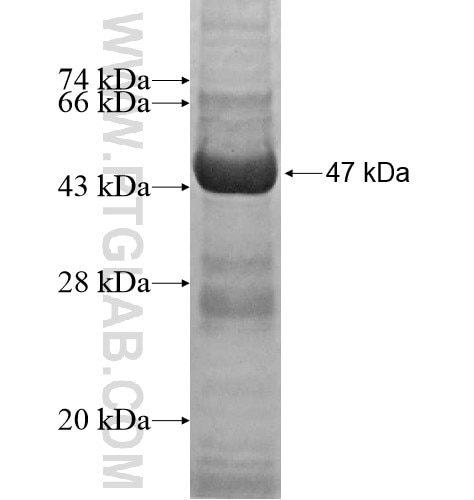 NME4 fusion protein Ag13162 SDS-PAGE