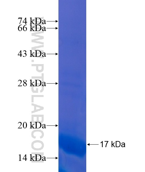 NPY fusion protein Ag21593 SDS-PAGE