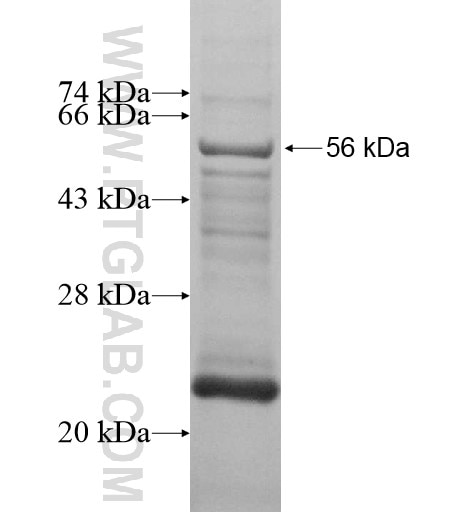 OSCAR fusion protein Ag13694 SDS-PAGE