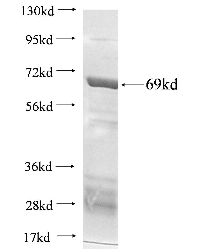 P2RY12 fusion protein Ag2601 SDS-PAGE