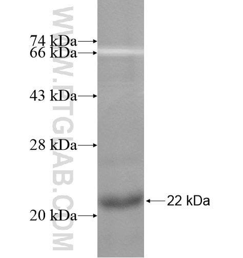 P2RY8 fusion protein Ag11686 SDS-PAGE