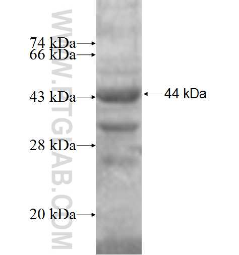P54 fusion protein Ag6304 SDS-PAGE