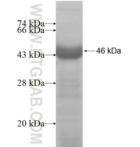 PAM fusion protein Ag7762 SDS-PAGE