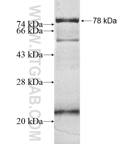 PDE7B fusion protein Ag12184 SDS-PAGE