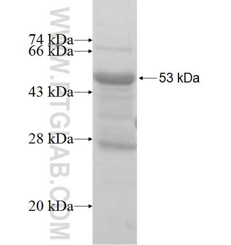 PEX11G fusion protein Ag8179 SDS-PAGE