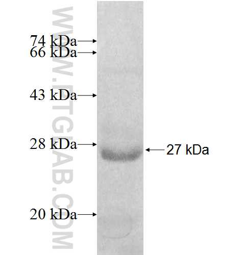 PEX11G fusion protein Ag8201 SDS-PAGE