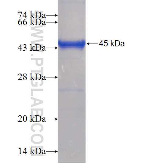PFKFB2 fusion protein Ag12395 SDS-PAGE