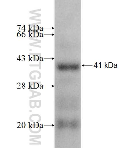 PHF6 fusion protein Ag8624 SDS-PAGE