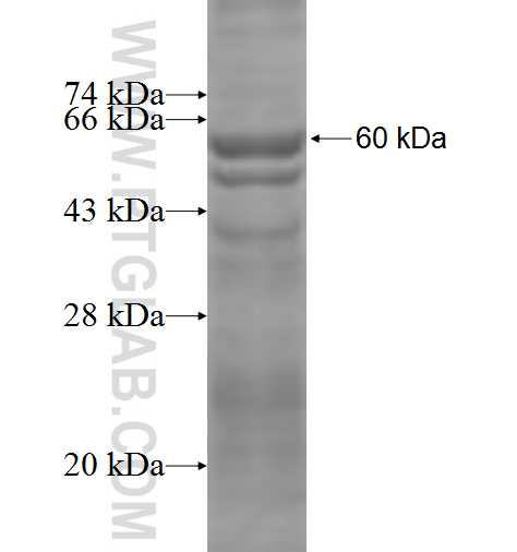 PLK1 fusion protein Ag2742 SDS-PAGE