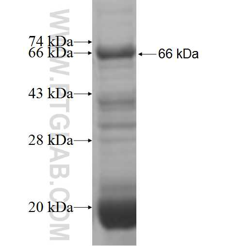 POLK fusion protein Ag6034 SDS-PAGE