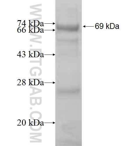 POLR1C fusion protein Ag8746 SDS-PAGE