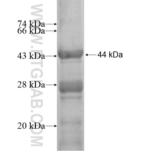 PPFIA2 fusion protein Ag12989 SDS-PAGE
