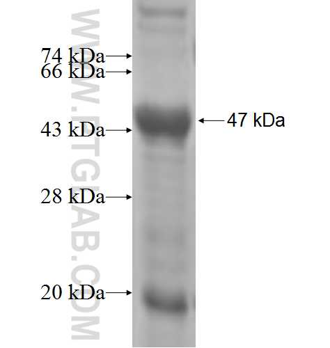 PPM1K fusion protein Ag5660 SDS-PAGE