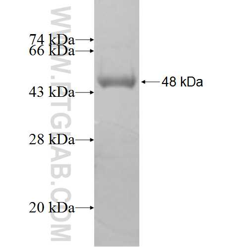 PPP3CC fusion protein Ag7619 SDS-PAGE