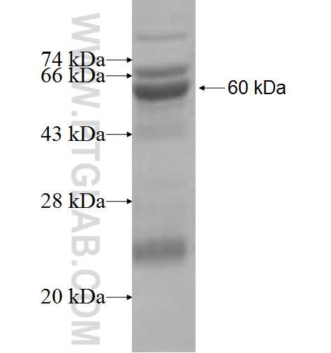 PPT2 fusion protein Ag7671 SDS-PAGE