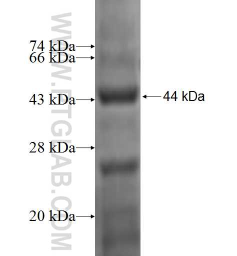 PRKAG1 fusion protein Ag0302 SDS-PAGE