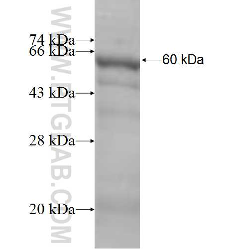 PRKCD fusion protein Ag5473 SDS-PAGE